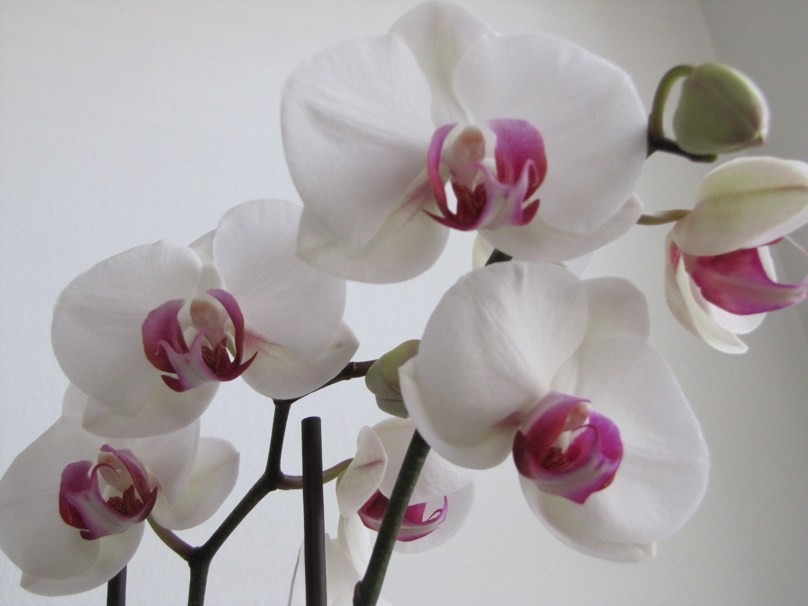 Snow-White Orchid, by Rosangela C. Taylor