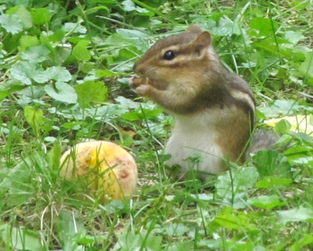 Chipmunk Eating Peach, by Rosangela C. Taylor